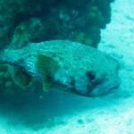 Egelvis oftewel 'pufferfish'