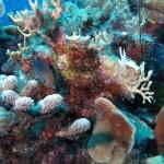 Koraal met 'french angelfish'