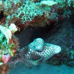 'Spotted trunkfish'