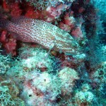 'Red hind grouper'