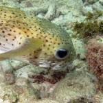 Egelvis in de baai van Playa Lagun