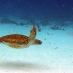 Schildpad in de baai van Playa Lagun