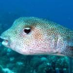 Kogelvis oftewel porcupinefish