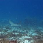 Spotted eagle ray Playa Lagun