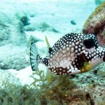 Trunkfish bij Playa Lagun