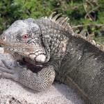 Leguanen bij Playa Lagun