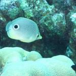 Four-eyed butterflyfish bij Best Reef