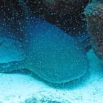Verpleegsterhaai bij Best Reef