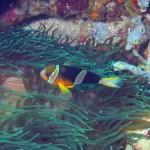 Clownfish bij Nusa Penida