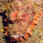Stonefish bij Tulamben
