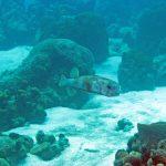 Porcupinefish bij Slangebaai, Curaçao.