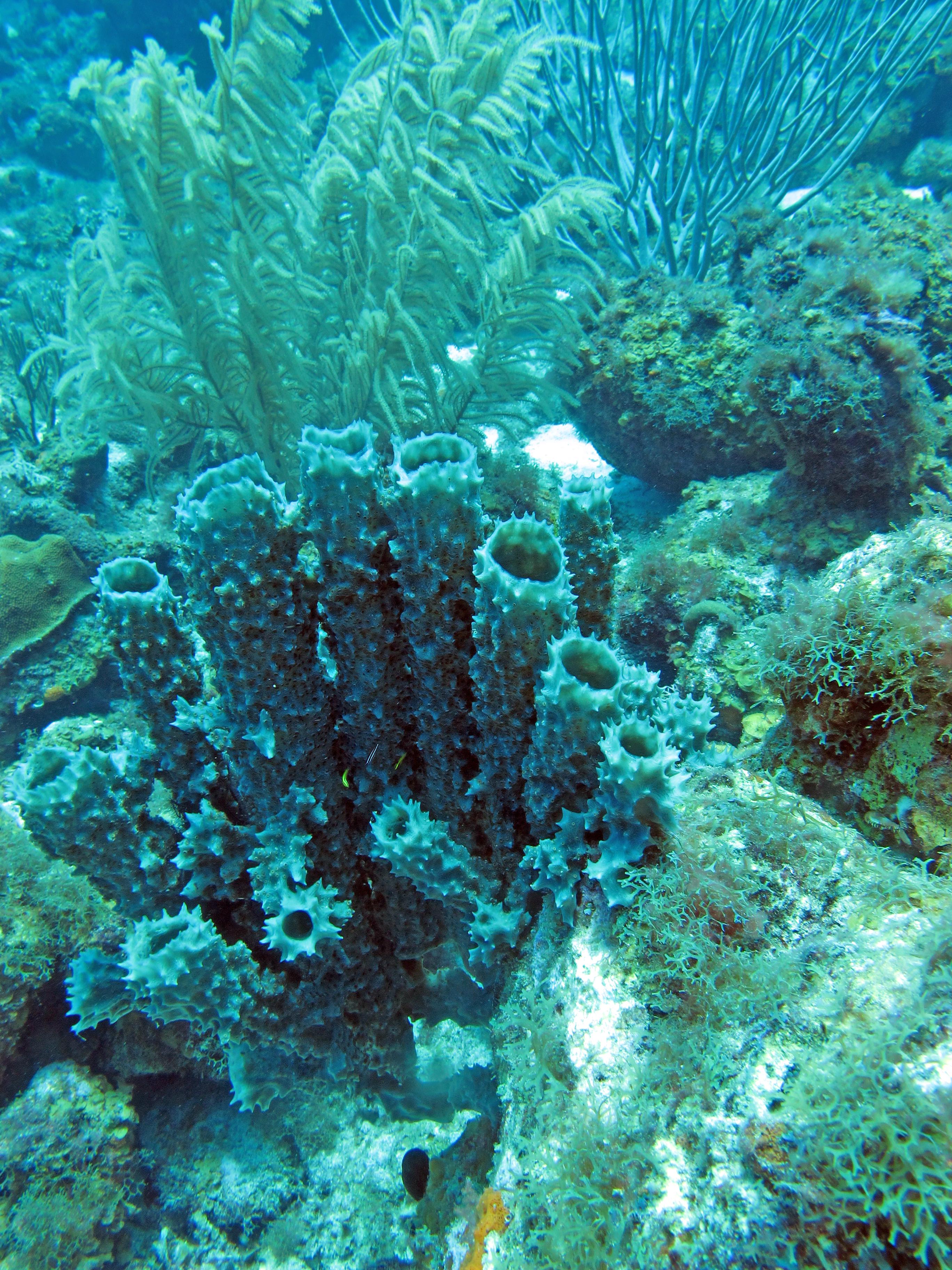 Pijpkoraal en andere soorten koraal