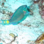 Stoplight parrotfish Porto Marie